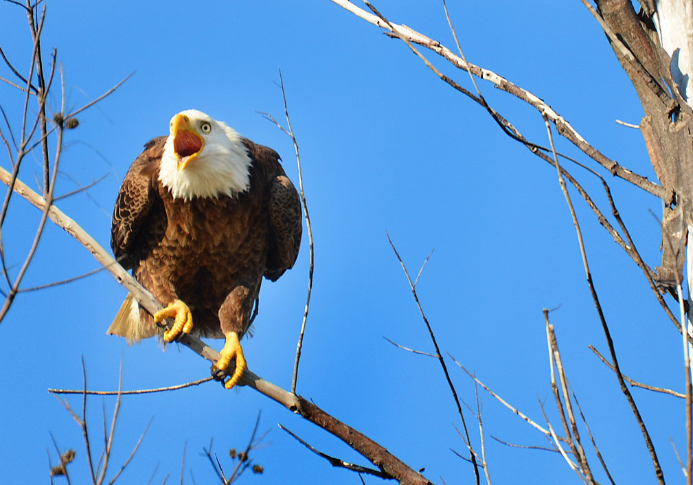 While I am usually pursuing shots of Bald Eagles in Montana, this one was found along Fort Desoto Beach in Florida! He was forced to sit in the tree as a large Osprey was diving at him... that is why he looks so angry!