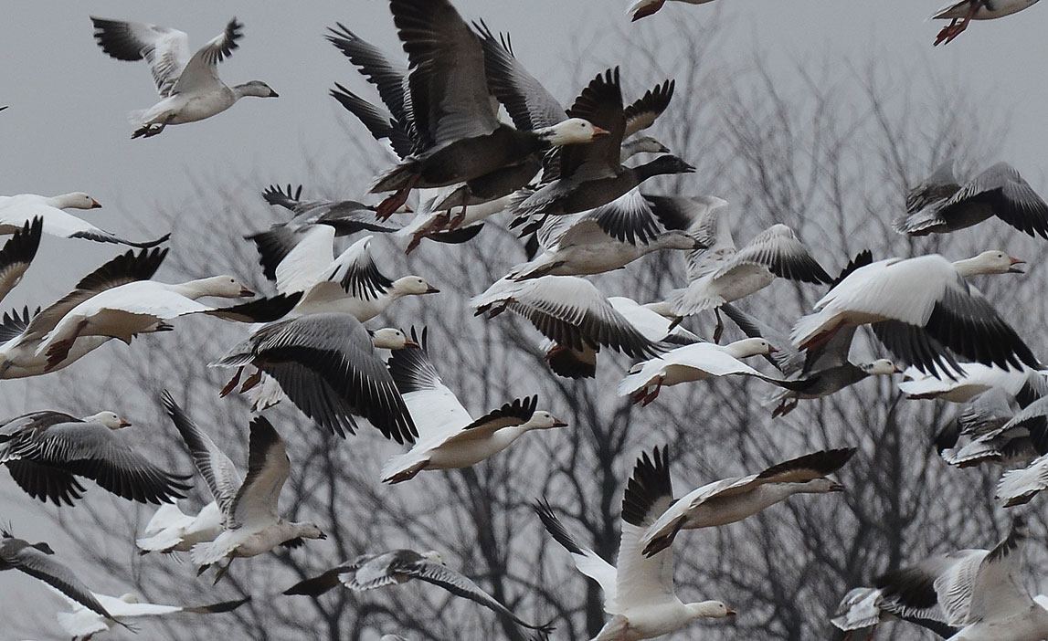 I had to sneak up on this flock of geese to get in position to have a shot. There were about 500 or so in this field.