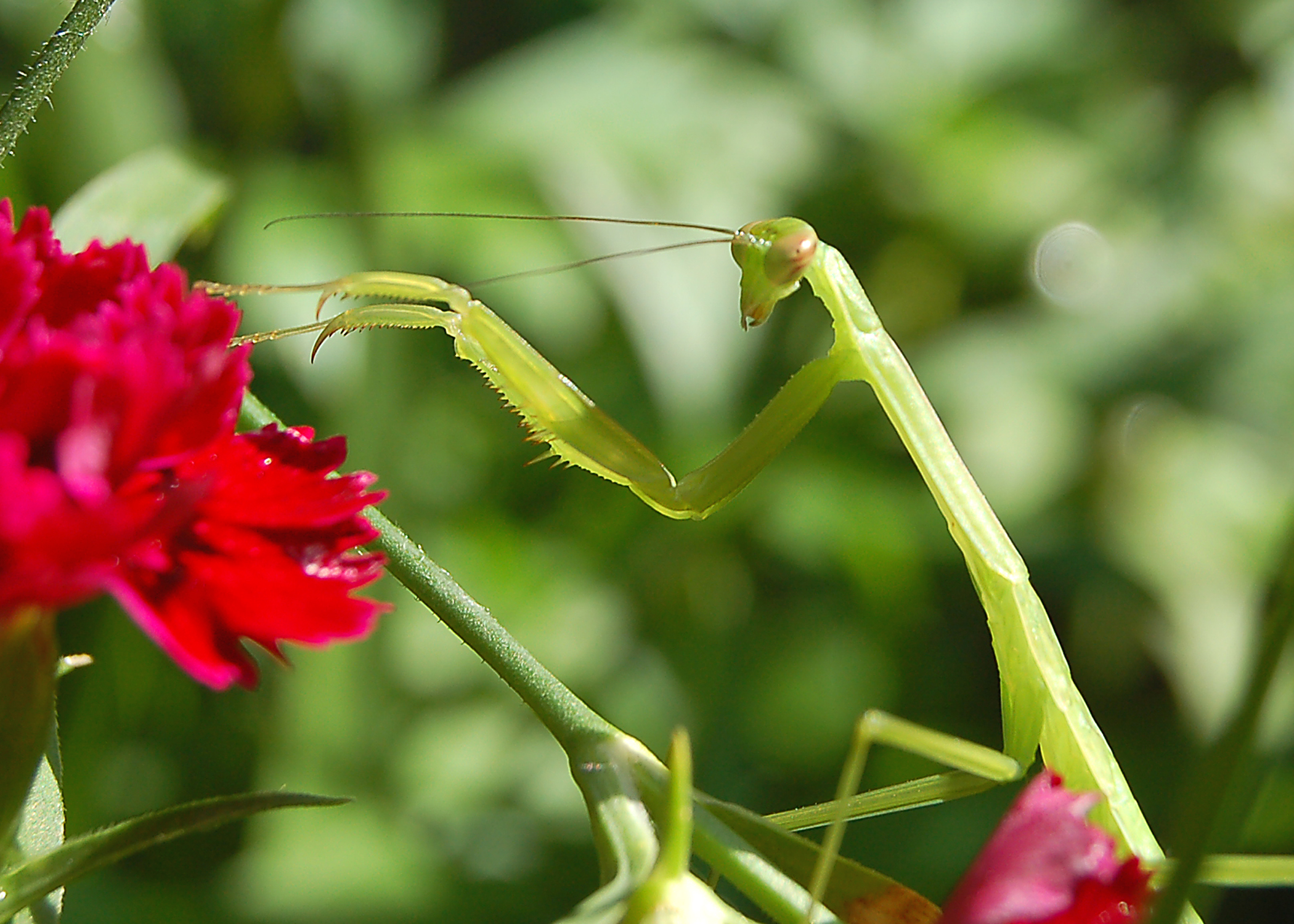 Ahhhh the Mantis has landed! I love these guys - aliens right here on earth!
